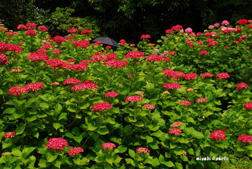 植物園(2008-06-16)-(11).jpg